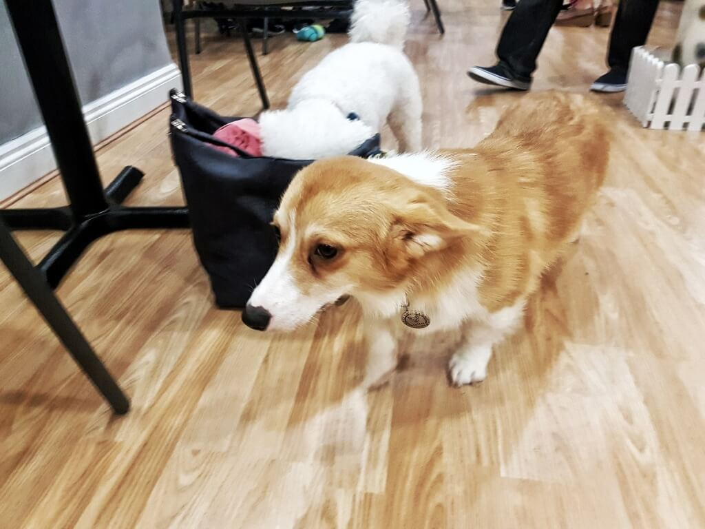 Dog & Scone Dog Cafe Newcastle ->www.whatsupcourtney.com #dog #dogcafe #corgi