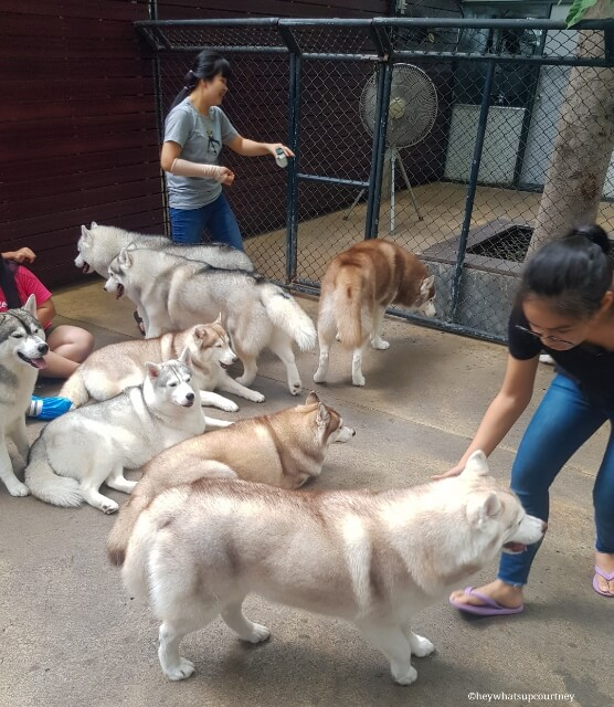 A group of huskies chilling at the husky cafe Truelove at Neverland - read more at whatsupcourtney.com #huskies #husky #bangkok #thailand #travel #siberianhusky