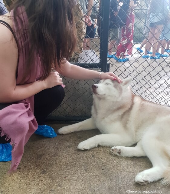 Petting a husky at the husky cafe Truelove at Neverland - read more at whatsupcourtney.com #huskies #husky #bangkok #thailand #travel #siberianhusky