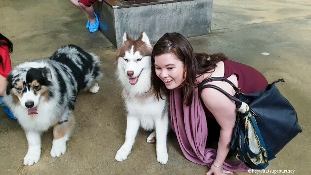 Taking pictures with the dogs at the husky cafe Truelove at Neverland - read more at whatsupcourtney.com #huskies #husky #bangkok #thailand #travel #siberianhusky