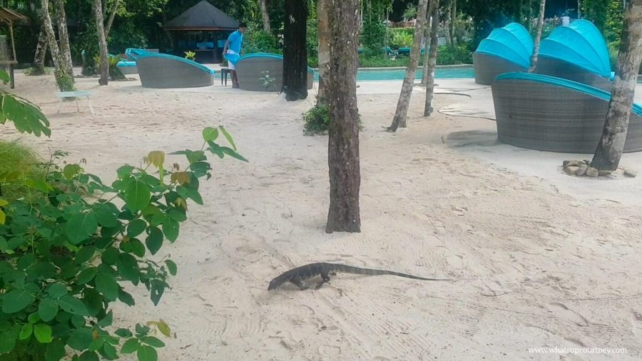 Jeff the monitor lizard, a common figure at the resort as it is surrounded by a rainforest | heywhatsupcourtney