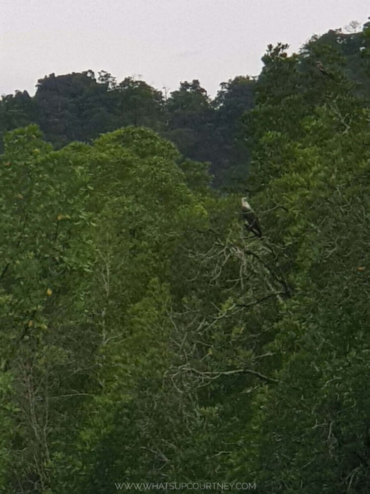 Wild eagle on top of the trees at the Geoforest park | heywhatsupcourtney