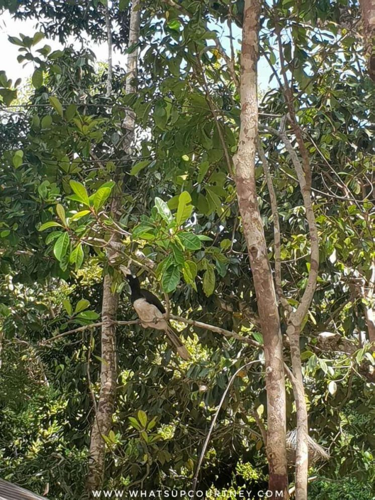 Wild Hornbill amongst the trees | heywhatsupcourtney